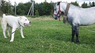Алабай Тайка боится лошадок :) А чего боятся ваши собаки?