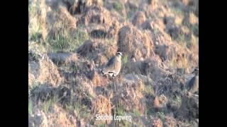 Birding Oman 2015