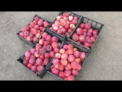 Яблоки Флорина: сбор урожая 2018