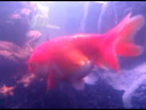 frothniticga: goldfish eggs fertilized