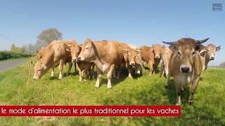 Elevage de bovins Aubrac dans les Côtes d'Armor en Bretagne.