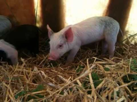 New piglets rooting for grass