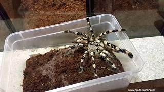 Baixar Trzy wielkie POECILOTHERIA - robimy terraria hodowlane - spidersonline.pl