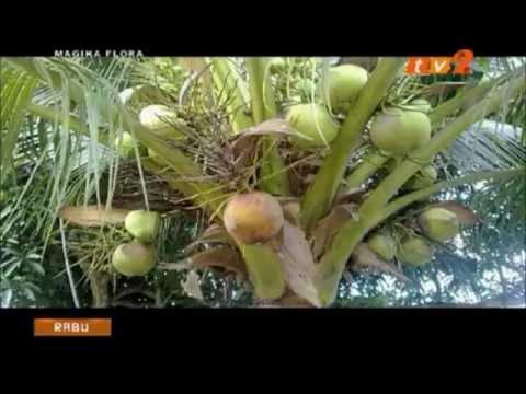 Kelapa Cocos Nucifera Jeli Kelapa Minyak Kelapa Dara Virgin Coconut Oil Kerisik Kelapa Matag Pandan