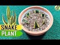 Download SNAKE PLANT:  Sansevieria Care Tips and Propagation by leaf cuttings / Rhizome