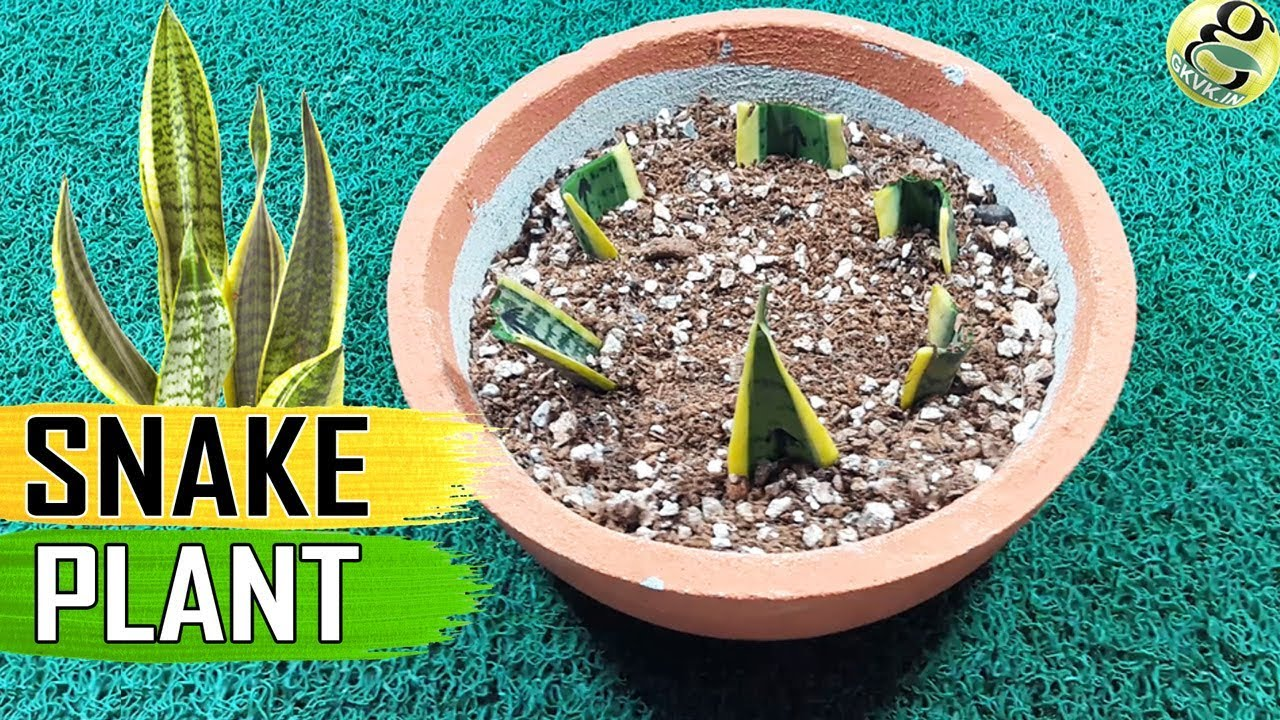 snake plant sansevieria care tips and propagation by leaf cuttings rhizome youtube. Black Bedroom Furniture Sets. Home Design Ideas