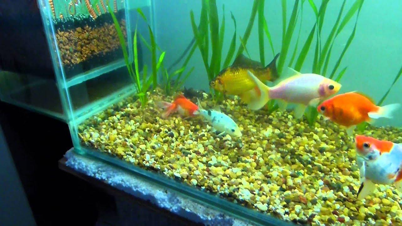 Acuario de 450 litros de agua fria youtube for Como cuidar peces de agua fria