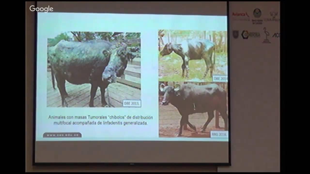 Caracterización anatómica e histopatológica de lesiones en búfalos ...