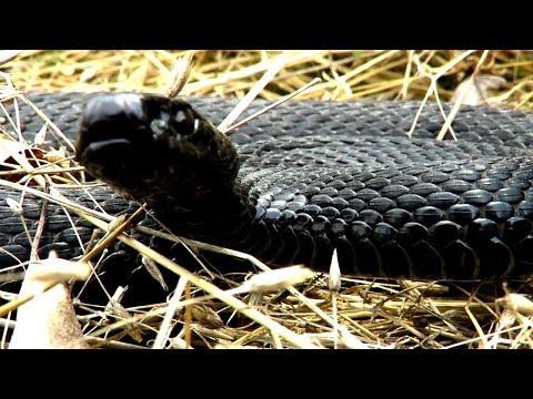 Как шипит змея видео для детей