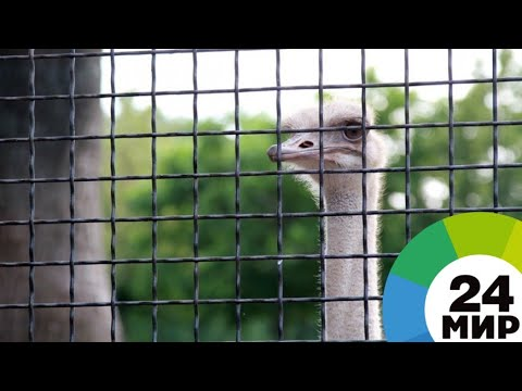 Выгодный бизнес: в Армении набирают популярность страусиные фермы - МИР 24