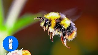 Giant Furry Bumblebees - CUTE Compilation