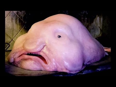 Blobfish - Deepsea Oddities