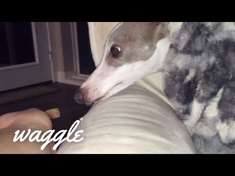 Great Greyhounds   Dog Video Compilation