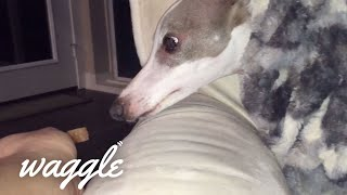 Great Greyhounds | Dog Video Compilation