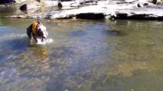 Weimaraner's First Swim