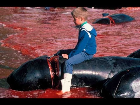 Pilot Whale Slaughter In Faroe Islands, Demo to End the Grind