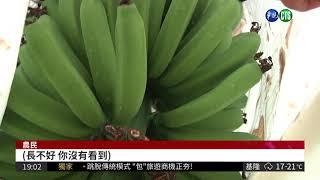 氟化物好毒! 香蕉長不大.鳳梨變形| 華視新聞 20180416