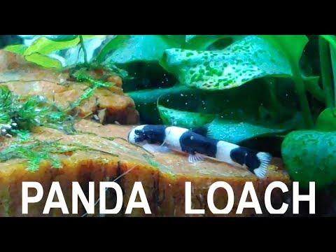 Panda Loach