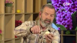 Зимнее размножение луковичных раннецветущих растений