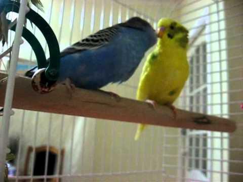 знакомство попугаев