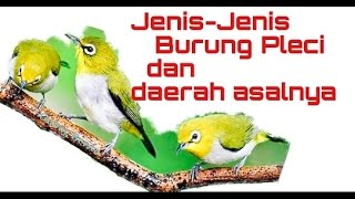 Jenis-Jenis Burung Pleci Dan Daerah Asalnya