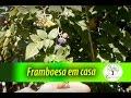 Framboesa em casa , colha a fruta no pé, cuidados e dicas para se cultivar Plantar em Casa