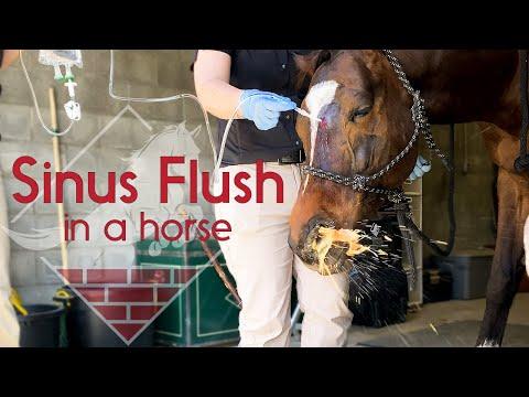 Flushing A Horse's Sinus