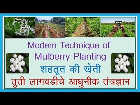 तुतीची लागवड - Modern Technique of Organic  Mulberry Planting  (Mulberry Cultivation).