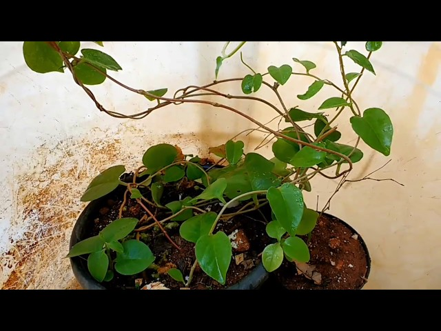planta insulina trepadeira natural