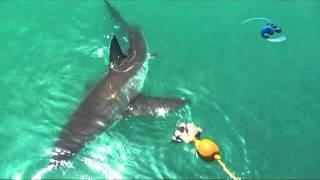 Гиганский скат против огромной акулы жесть!