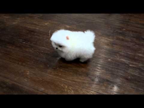Белый щенок померанского шпица . White Pomeranian puppy, www.elitdog.com, Kennel «Elite Imperiya»