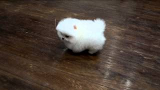 Белый щенок померанского шпица . White Pomeranian puppy, www.elitdog.com, Kennel «Elite Imperiya»