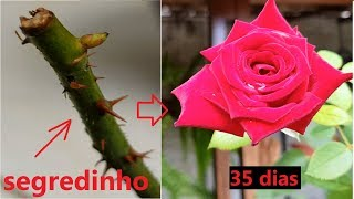 Melhor Forma Fazer Muda de Rosa
