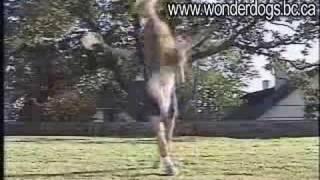 Smartest Dog In The World? | Ben Kersen Dog Training School