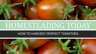How to Harvest Perfect Tomatoes | Urban Farming