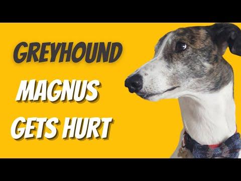 Adopting a retired racing Greyhound - Magnus gets hurt