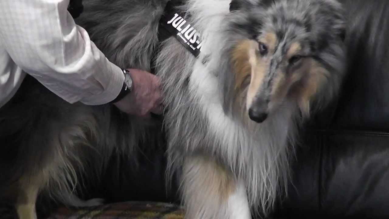 how to adjust a dog harness of julius k9 youtube. Black Bedroom Furniture Sets. Home Design Ideas