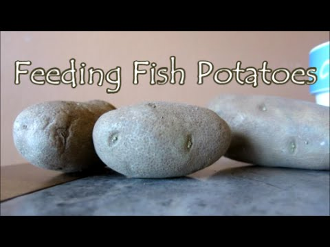 Feeding Fish Potato | How Potatoes Help