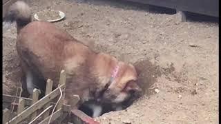 穴掘りがメッチャ大好きな四国犬 リボンちゃん.