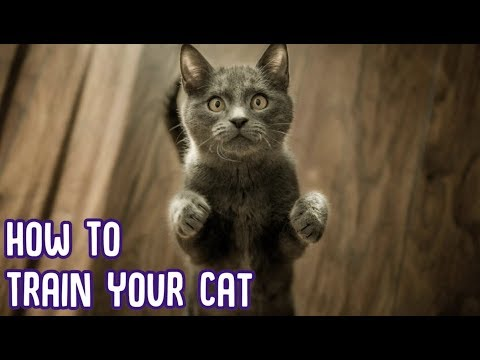 How To Train Your Cat - EASIEST CAT TRICKS!