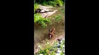 Бенгальская кошка и вода