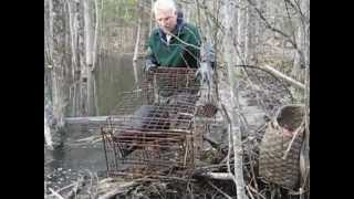 Beaver Caught In A Live Cage