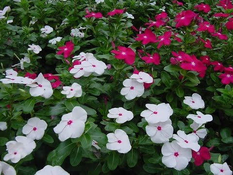 Compare Prices on Flower Vinca- Online Shopping/Buy Low Price ...