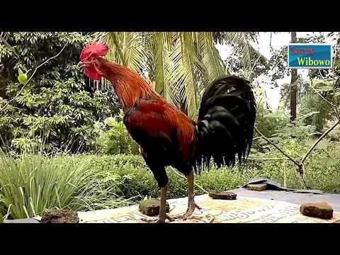 Kumpulan Suara Kokok Ayam Pelung Juara Wajib Dilihat