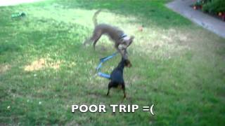 Texas Blue Lacy And Min Pin