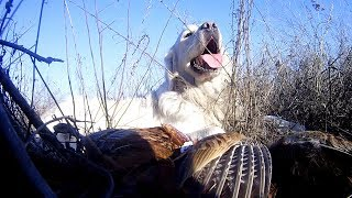 охотничьи собаки  Азарт