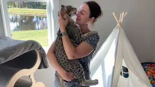 Gentle Giant Savannah Cat And His Mom Have A Special Bond! ❤ Cuteness Overload! #cute #cat #video