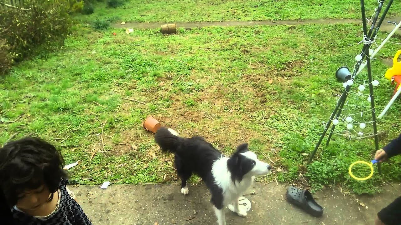 Border Collie vs Bubbles - YouTube