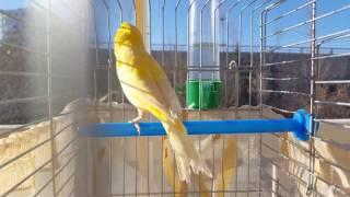 Erkek Kanarya ötüşü Malinua, صيد طائر الكناري - eğitim - ders - huylandırma