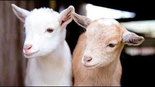 Cute Baby Goats Fooling around 🐐